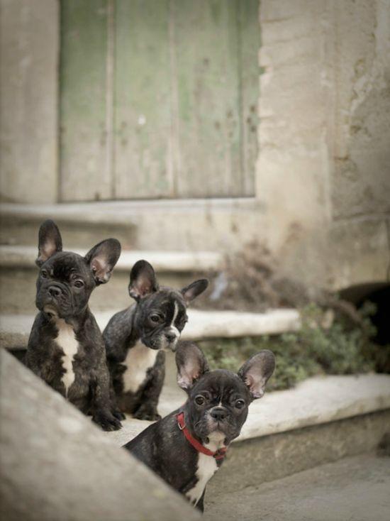 #FrenchBulldogs #puppies Facebook.com/sodoggonefunny