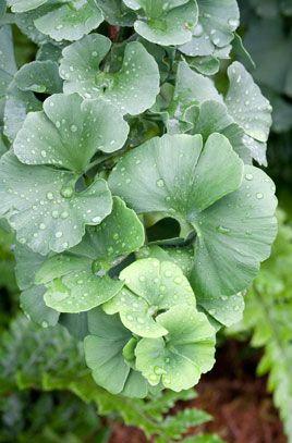 plant ginkgo biloba