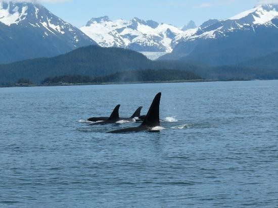 Alaska: Killers Whales,  Orcinus Orcas, Whales Watches, Buckets Lists, Alaskan Cruises, Favorite Places, Juneau Alaska,  Killers, Orcas Whales