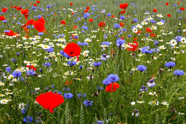 Meadow with Oxeye daisy (white), Cornflower (blue) and Poppy (red).