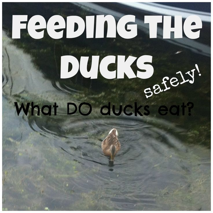 """Feeding the ducks with kids   STELLA123 - Includes """"environmentally correct"""" list of foods for ducks, easy duck diagram activity and interesting facts for your next duck feeding adventure with kids"""