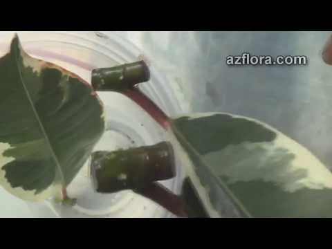 Размножение фикуса / Ficus propagation - YouTube