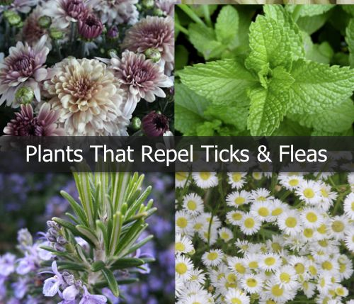 Plants That Repel Ticks And Fleas...http://homestead-and-survival.com/plants-that-repel-ticks-and-fleas/