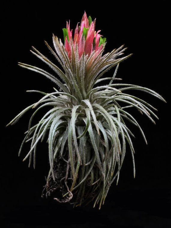 370 best tillandsia species varieties images on pinterest air plants carnation bouquet and. Black Bedroom Furniture Sets. Home Design Ideas