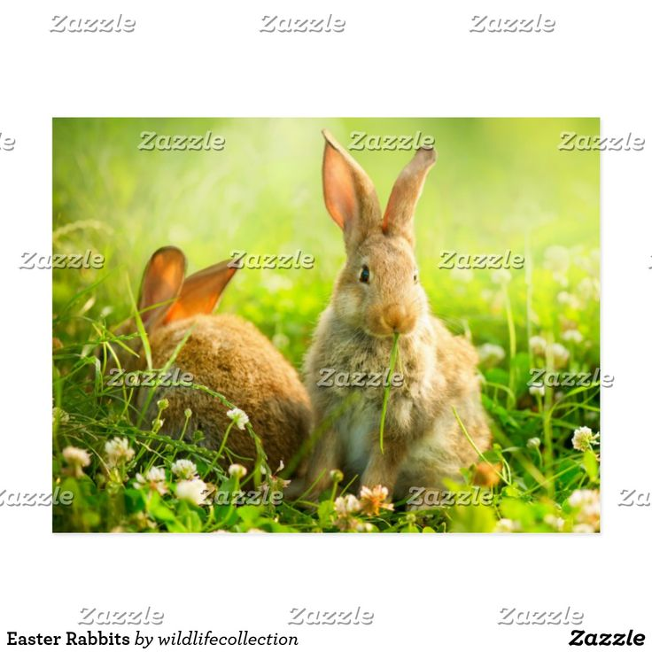Easter Rabbits Holiday Postcard