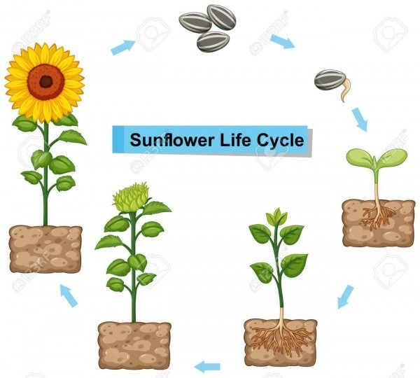 Daffodil Life Cycle Diagram Life Cycles Sunflower Life Cycle Planting Sunflowers