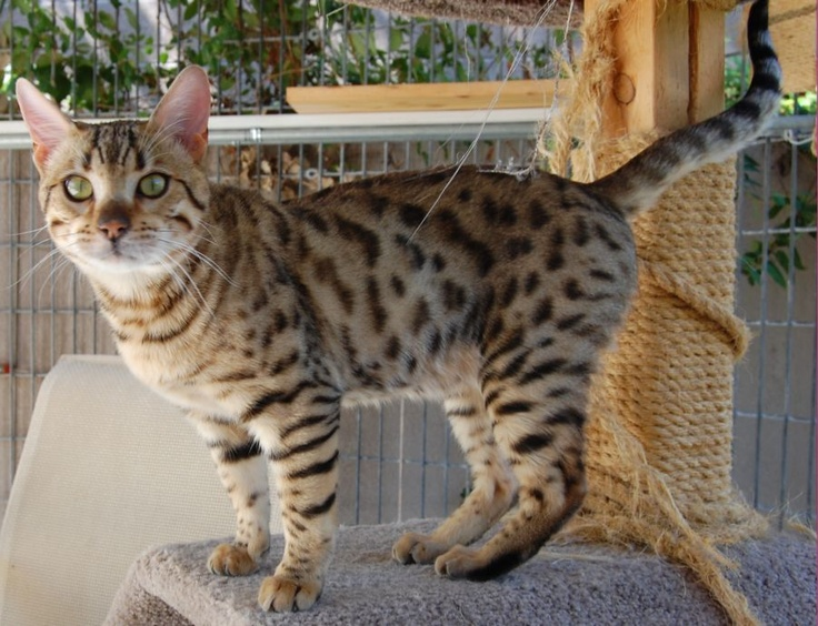 17 best images about hybrid cats on pinterest cats
