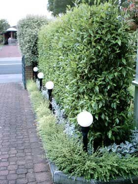 port wine magnolia hedge gardens - Google Search