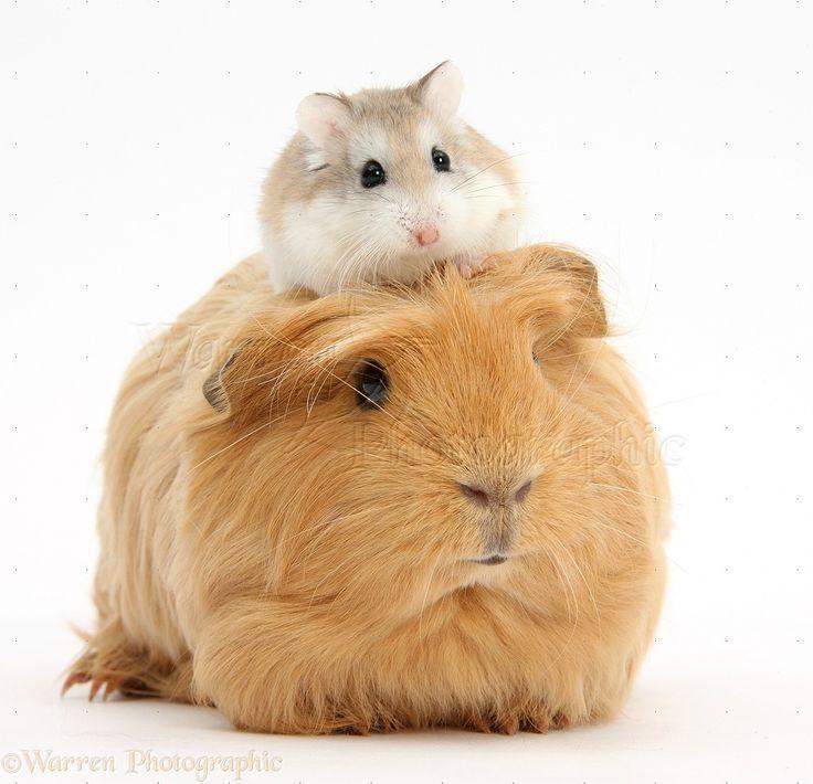 http://www.warrenphotographic.co.uk/39652-ginger-guinea-pig-and-roborovski-hamster
