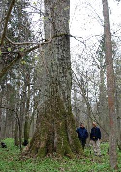 Stieleiche 'Maciek eik' im National Park of Białowieża, Białowieża, Polen