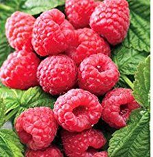 How to transplant raspberry canes to relocate the plants and ensure future berries.