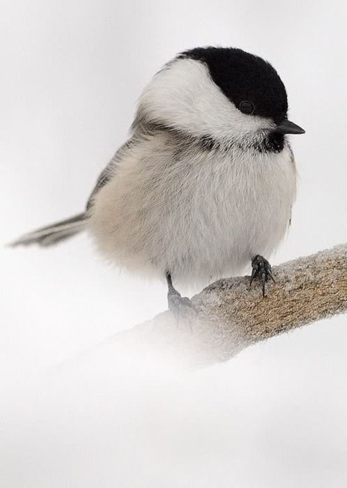 sweet chickadee: Cute Birds, Little Birds, Winter Wonderland, Black White, Blackcap, Black Cap, Beautiful Birds, Animal, Feathers Friends