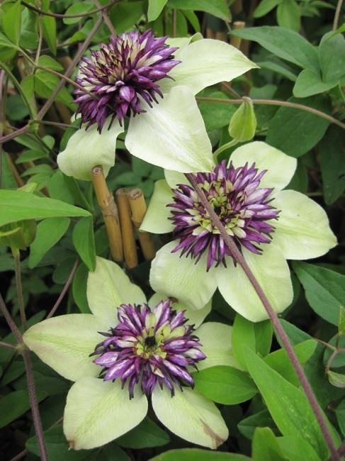 clematis 39 florida sieboldii 39 florida horticulture. Black Bedroom Furniture Sets. Home Design Ideas