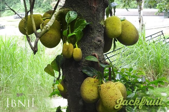 The goodness of green at #TheIbnii_Coorg #organic #bionatural #organicfruits #gardenofibnii #luxuryresort #ecoluxe #ecohotel #ecoresort