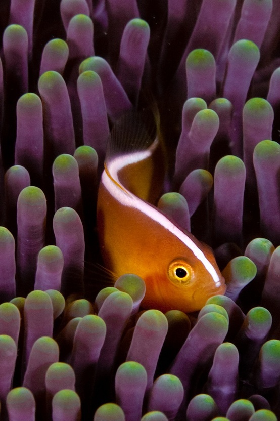 (sw) A skunk Clownfish or Nosestripe Anemonefish. Formal name or Binomial Name: Amphriprion akalkipisos. Found in Indo-Pacific region (Madagascar).