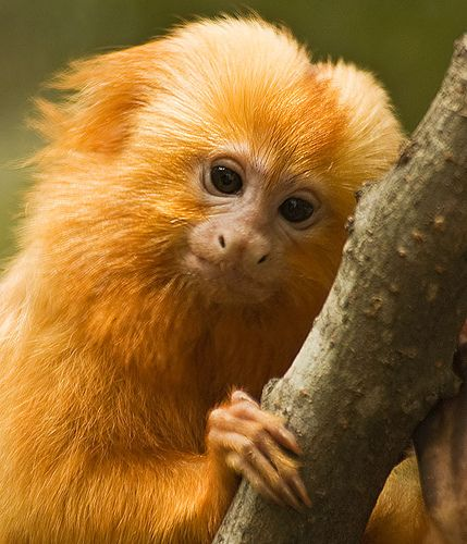 Golden Lion Tamarin: The most colorful monkey in the world, and just darn cute to boot!