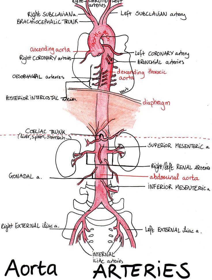 aortic-arteries.jpg (2459×3251)