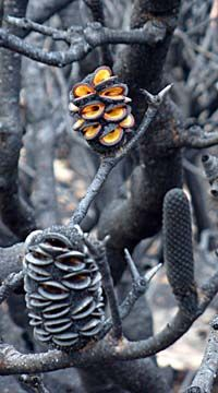 Banksia saxicola needs fire or extreme heat to open and drop it's seed.