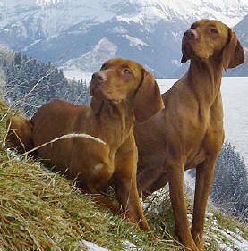 Braco Húngaro   Vizsla - Guia de Raça de Cachorro