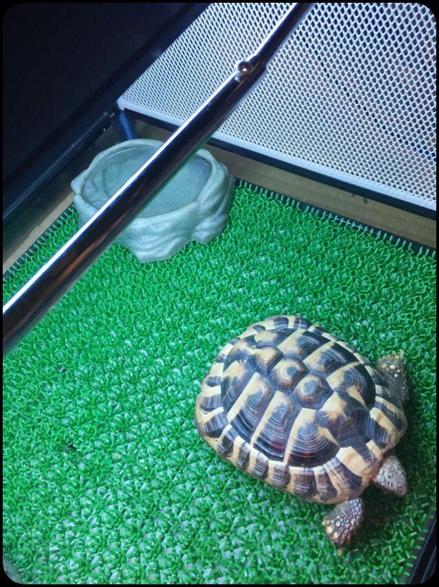 リクガメの床材を、「人工芝」へリクガメの床材に「人工芝」を使う方法についてです。あることがきっかけで、昨年の夏からヘルマンリクガメの床材を人工芝へ変えました。それで分かった「人工芝」を使った飼育環境のメリット・デメリットをご紹介します。人工