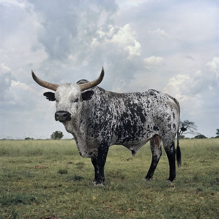 Black and white Nguni bull. Stella, North West Province, 1 March 2010