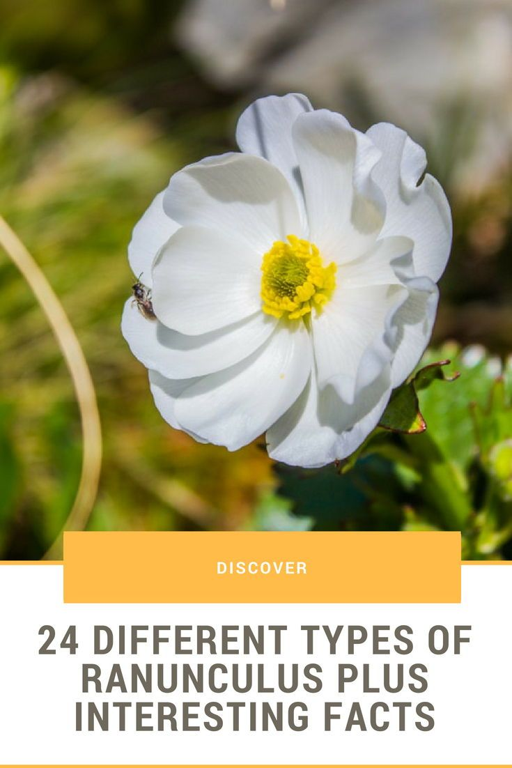 24 Different Types Of Ranunculus Plus Interesting Facts Gardens