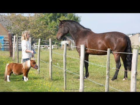Acer The Dwarf Miniature Horse Acts More Like A Dog Than A Horse [VIDEO] - Most Watched Today
