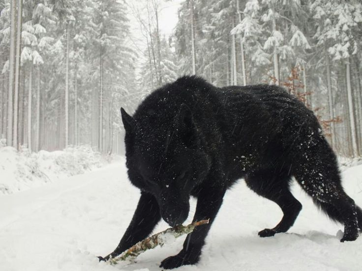Amazing contrast, and a nice pose for the wolf to be captured in.