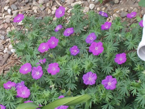 Geranium Wlassovianum Perennial Purple/Pink long lasting flowers. Foliage turns red in autumn. Grows in mound shape up to 2 feet