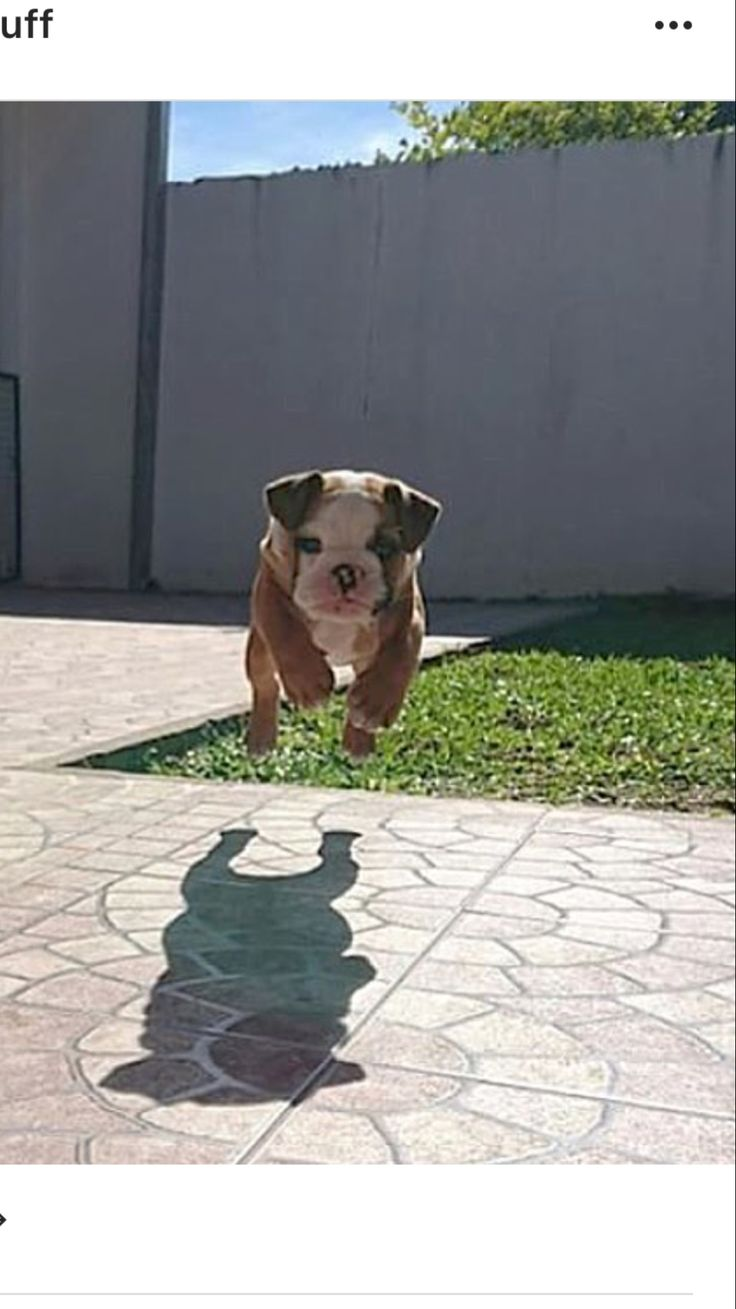 Bulldogs can fly!!