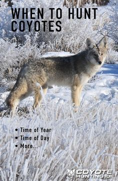 Find the right time of year, time of day to hunt coyotes. Summer, fall, winter, and spring time calling tips.