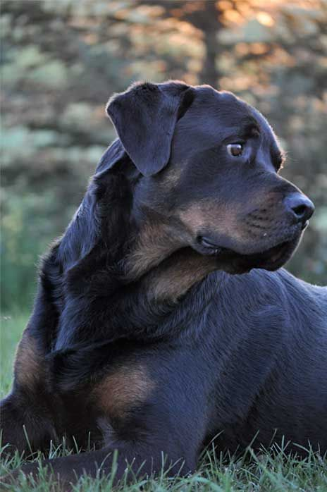 Rottweilers are so gorgeous,
