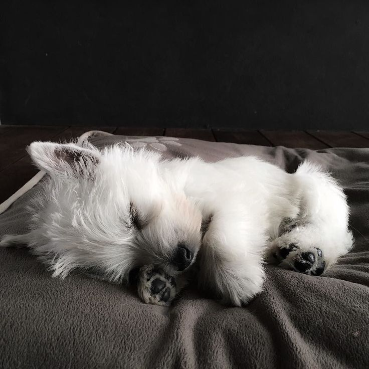 Nap time for Eve! by emma_the_westie                              …