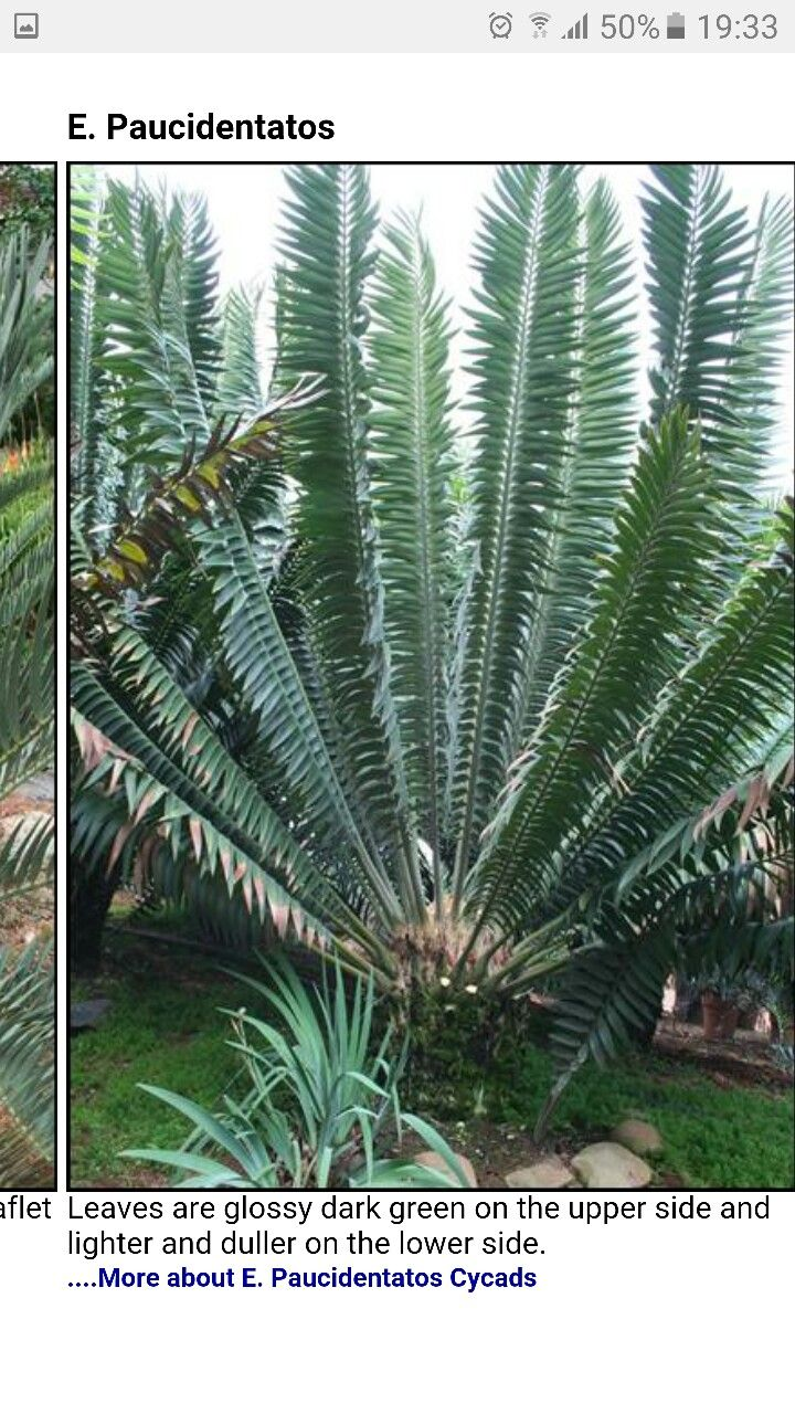 Encephalartos Paucidentatos