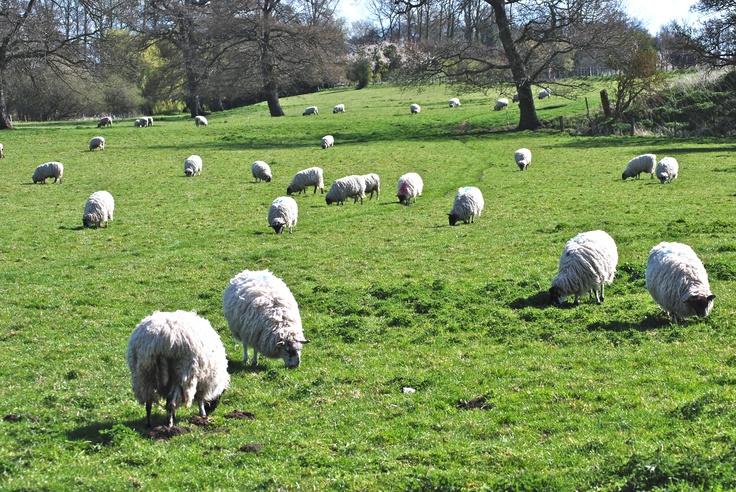 Sheep, Wiltshire