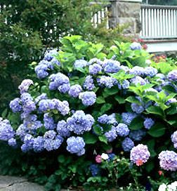 hydrangea bushes flowering shrubs these are beautiful colors can depend on how acidic the - Hydrangea Bush