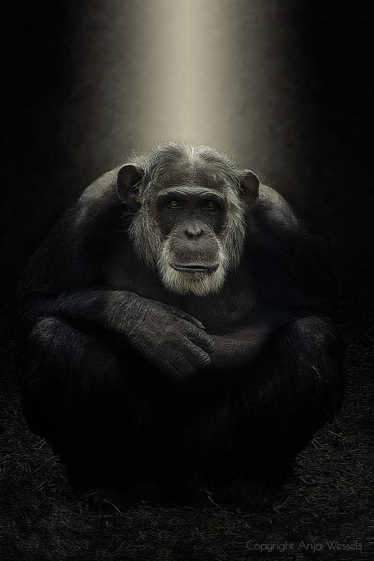 *Mike*  New edit and composit of mike, the beautiful old chimpanzee in Dierenpark  Amersfoort.  CAMERA: Canon EOS 650D LENS Tamron 16-300mm f/3.5-6.3 Di... - Anja Wessels Photography - Google+