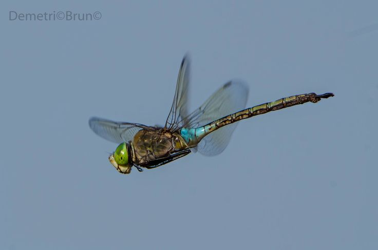 Dragonfly Nikon D7100 Tamron 150/600 mm