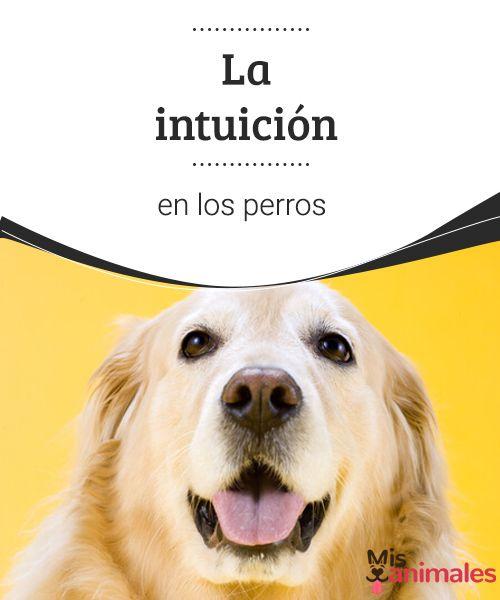 La intuición en los perros ¿Sexto sentido? mucho se ha hablado sobre la intuición en los perros. En este artículo compartimos algunos datos sobre la capacidad particular que tienen. #intuición #perros #curiosidades #sentido
