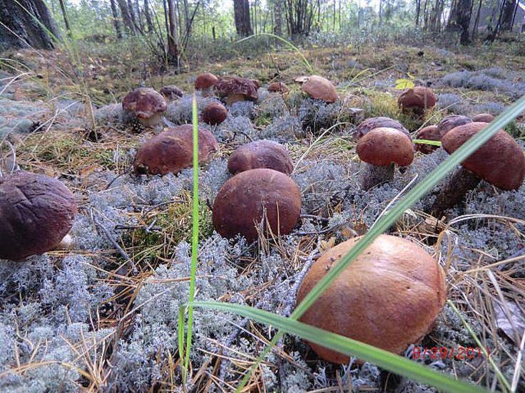 """Готовится грибная """"рассада"""" - просто. Берётся шляпка уже перезревшего гриба (белый или подберезовик). Перемалывается на обычной ручной мясорубке. Кладётся в бутыль с водой. Дальше идёт способ """"пробужд…"""