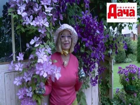 Что нужно для обильного цветения клематисов - YouTube