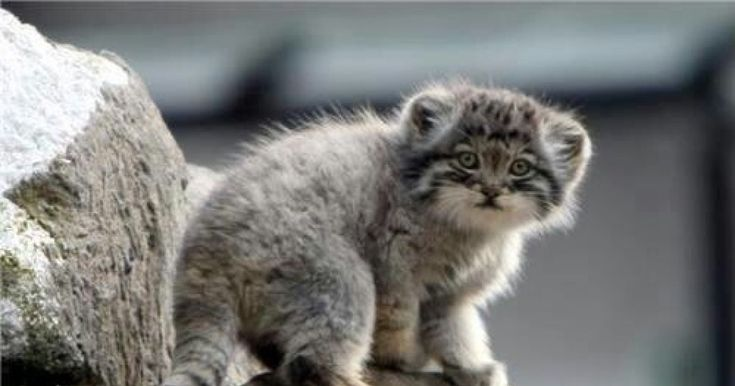 The Pallas' Cat, also known as the manul, is a stocky, solitary animal around the same size as a housecat.