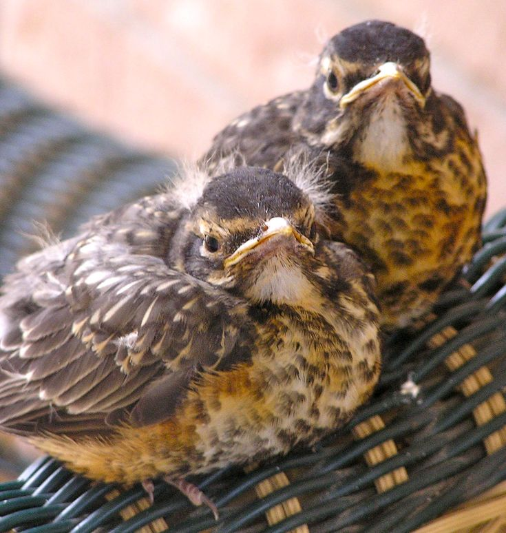 Fledglings: if you see a baby robin that looks like this ...