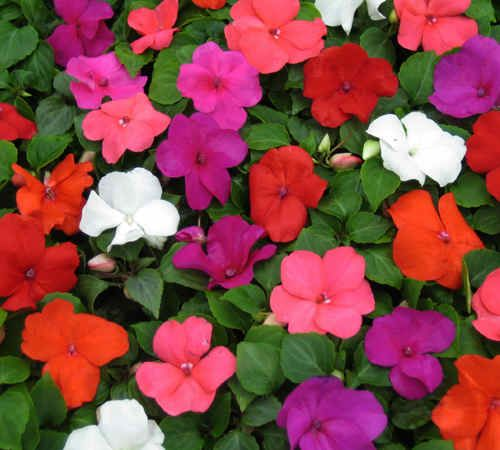 100 best images about impatiens on pinterest gardens for Easy to care for outdoor flowering plants