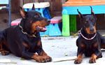 Doberman Puppies for sale USA