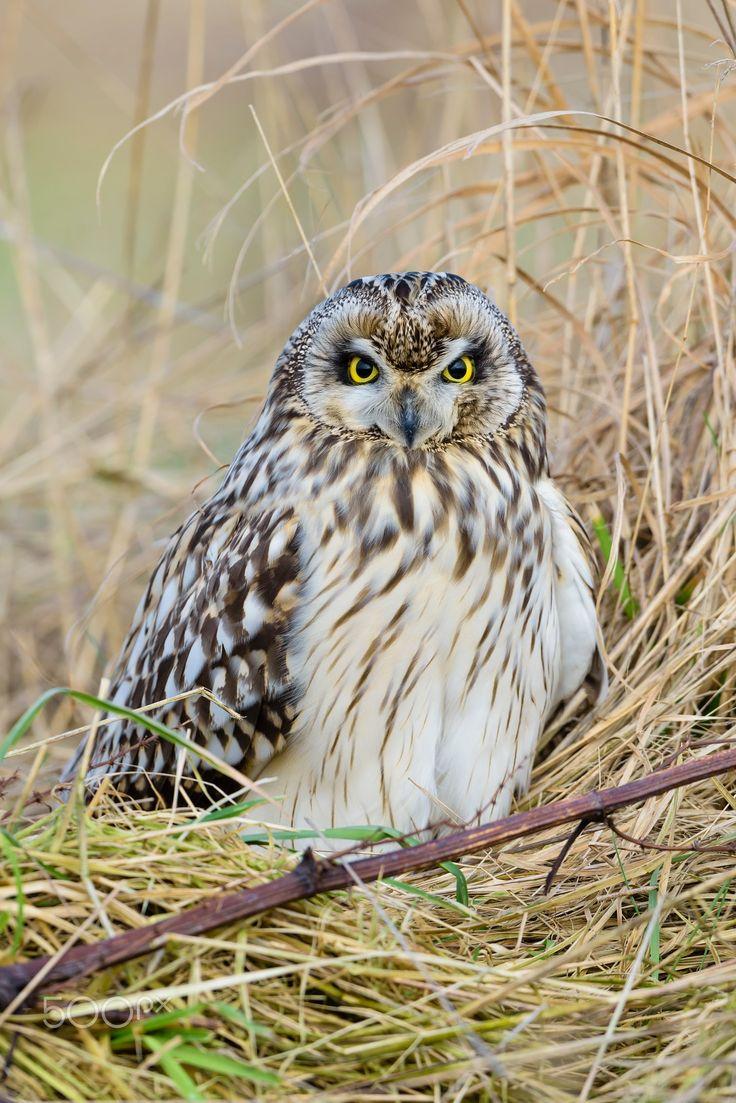 Sumpfohreule, Asio flammeus, Wild Short Eared Owl - Sumpfohreule, Asio flammeus, Wild Short Eared Owl