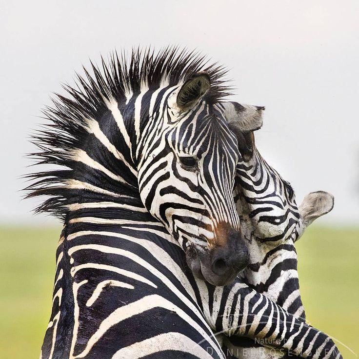 """Daniel Rosengren on Instagram """"Two zebra stallions"""