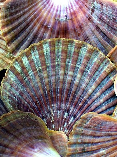 beautiful colors in sea shell close-up