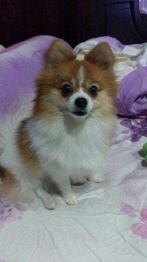 Cleo mini pomeranian