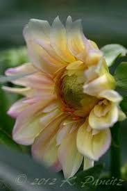 Bilderesultat for Dahlia appleblossom